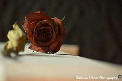 Beautiful death (barbaraotero12) Tags: red flower nature beautiful rose dead still nikon pretty memories gift