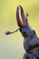 Lucanus cervus (Cristian Arghius) Tags: macro insect beetle naturallight canonmpe65mm lucanuscervus focusstack sonya7 zerenestacker rrstp243tripod arcaswisscubetripodhead metabonescanoneftoemountsmartadaptermarkiv