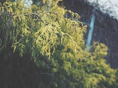 (Jon-F, themachine) Tags: plants japan asian asia olympus nagoya  nippon japo oriental orient fareast  aichi nihon  omd   chubu japn  2016 m43  mft  mirrorless  chuubu   micro43 microfourthirds  ft xapn jonfu  mirrorlesscamera snapseed   em5ii em5markii