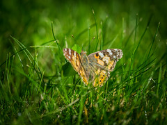 Distelfalter (ChrisTalentfrei) Tags: macro grass butterfly insect sigma os 105 falter makro f28 105mm hsm distelfalter laea4
