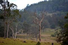 Naughton's Gap (dustaway) Tags: trees winter landscape stock australia hills deadtree nsw australianlandscape paddocks northernrivers richmondvalley backcreekvalley naughtonsgap