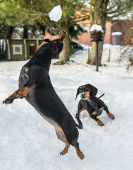 aulanko-8762 (ville.alapiha1) Tags: winter dog pet black animal mammal jumping action canine dachshund catching snowball breed akseli carnivore doxie purebred lyyli tyyne