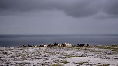Ferral Goats over Galway bay (Michael Foley Photography) Tags: ireland burren coclare galwaybay