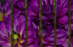 In The Cage (JCRM6) Tags: dahlia plant flower color beautiful beauty garden purple flowermacro macroflower beautifulflower nikon105mm nikond700