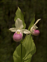 Showy Lady's Slipper (KvonK) Tags: pink wild white orchid iso100 bog f4 nikon50mm18 nikond500 showyladysslippers
