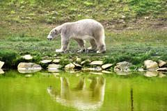 Daily Life (Tony Shertila) Tags: bear england reflection water animal walking fur geotagged mammal zoo europe unitedkingdom britain outdoor arctic polarbear gbr preditor cantley ywp yorkshirewildlifepark geo:lat=5349608853 geo:lon=105019181 20160502155356