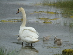 Swan with cygnets (stuartcroy) Tags: orkney island water weather white waves stenness loch cygnet swan sony