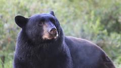 Bear ('Dazza' Quarin...back from the Dead) Tags: bear canada animal britishcolumbia wildlife blackbear blueberryfield