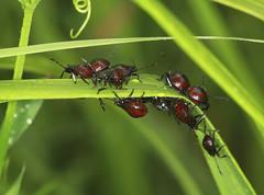 Photo of Spiked Shiedbug Nymphs