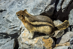 golden mantled ground squirrel - banff NP, canada (AB) 2 (Russell Scott Images) Tags: canada ab alberta banff rodents banffnationalpark goldenmantledgroundsquirrelcallospermophiluslateralis