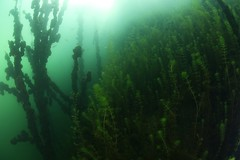 IMG_3805 (Andrey Narchuk) Tags: russia moscow freshwater green underwater weed tree