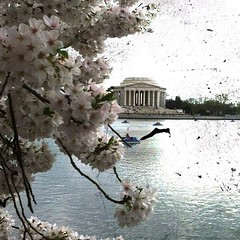 "Project 2012; Day 80 ""DC Cherry Blossom Festival"" (cindeeluwho1) Tags: square squareformat normal iphoneography instagramapp uploaded:by=instagram"
