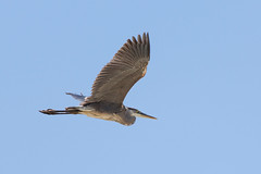 Heron-005-04052012.jpg (Jason Nash) Tags: blue bird heron mark wildlife iii great 5d bif 100400 5d3