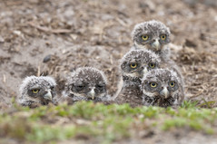 See, I Told You We Had Visitors (MommaD photos) Tags: wild cute eye nature birds outside outdoors nikon natural nest florida fuzzy five wildlife watching adorable ground adventure soil habitat owls suspicious outing athenecunicularia beaks burrow babybirds countypark burrowing burrowingowls coopercity owlets takeapeek babyowls specanimal brianpiccolopark ventureout tnwaphotography