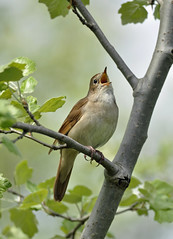 Singing Nightingale (Wouter's Wildlife Photography) Tags: bird opera singing ngc npc sing springtime natureatitsbest songbird nightingale lusciniamegarhynchos zangvogel westduinpark nachtegaal avianexcellence mygearandme mygearandmepremium mygearandmebronze dblringexcellence tplringexcellence