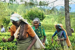 Sri Lanka tea picker (pontfire) Tags: voyage old trip travel portrait woman holiday work asian women asia femme working travail works trips asie srilanka ceylon srilankan femmes teaplantation traveler lankan teapicker ceylan travailleuse srilankatea plantationdeth voyageausrilanka cueilleusedeth pontfire srilandscapetrips thdusrilanka