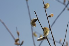 beautiful spring (knitalatte11) Tags: ontario macro march spring buds catkins unseasonablywarm dufferinmarsh