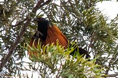 IMG_6976L4 (Sharad Medhavi) Tags: bird canonef100400mmf4556lisusm canoneod50d birdsandbeesoflakeshorehomes