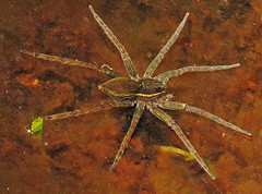 LARGE water spider (al-ien) Tags: spider myplace waterspider naturewatcher largewaterspider