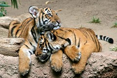 Togetherness (Penny Hyde) Tags: zoo tiger bigcat sandiegozoo ae malayantiger adup