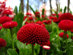 Lost in a forest of red pom poms ... (paul downing) Tags: floral canon spring pdp stocktonontees ropnerpark pd1001 sx10is pauldowning