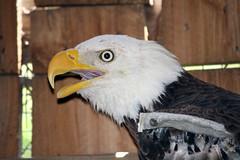 Bald Eagle at SOS (kathleenjacksonphotography) Tags: rescue bird nature birds eagle baldeagle sos birdrescue sarasotafl saveourseabirdsflorida