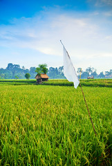 White Flag (syukaery) Tags: bali field indonesia rice paddy ubud 1755mm