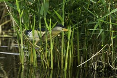 Little Bittern male moving in the reeds - Hort...