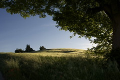 sinuosi scorci (montep) Tags: alberi raw giallo terra marche paesaggio controluce collina sera oro grano macerata campi