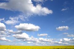Cotton wool clouds (Benjaminio) Tags: flowers blue sky nature field yellow clouds canon landscape eos horizon scene 1100d flickraward friendlychallenges bestcapturesaoi rememberthatmomentlevel1