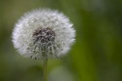 Soft 'n' Tender (Djenzen) Tags: canon jeroen soft fuzzy dandelion jansen paardebloem zacht 40d pluizig djenzen