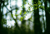 Deep in the Forest (moaan) Tags: life leica green digital forest 50mm spring whisper branch dof bokeh f10 utata aomori noctilux sprout 2012 青森 m9 yagen inlife leicanoctilux50mmf10 leicam9 薬研 whispersofspring