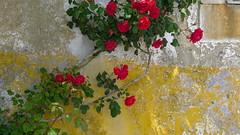 Climbing rose (halifaxlight (offline until Dec)) Tags: blue red roses green portugal yellow wall grey obidos climbingrose vanagram