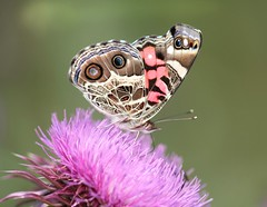 American Painted Lady (DrPhotoMoto) Tags: butterfly thistle northcarolina richmondcounty vanessavirginiensis americanpaintedlady