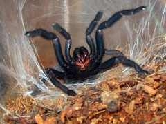 Chilobrachys fimbriatus (Ride .the. Snake) Tags: spider tarantula theraphosidae fimbriatus chilobrachys selenocosmiinae