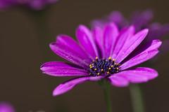 Fuzzy Pinks (Djenzen) Tags: pink flower canon jeroen jansen roze bloem 40d djenzen