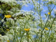 Cow parsley, blue sky and buttercup. (George Ino) Tags: blue sky flower primavera nature spring flora utrecht dof bokeh natur natuur bluesky depthoffield printemps frühling bloem buttercups cowparsley voorjaar fluitenkruid lepelenburg utrechtcentrum