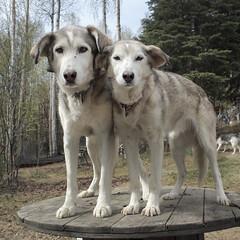 Pickle, Sadie. (R. Drozda) Tags: alaska sadie siblings birthdays pickle fairbanks sleddog beingthere alaskahusky drozda