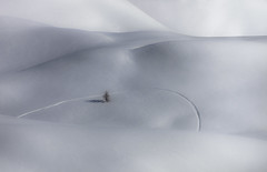 Anybody Here? (a galaxy far, far away...) Tags: winter white snow mountains tree landscape lost mood dunes tracks curly lonely minimalism skis minimalismo inverno minimalist snowfields atmopshere sinuous naturesfinest snowdunes sinuoso abigfave flickrdiamond montidellaluna robertobertero