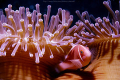 Anemone Fish (CyberEak) Tags: underwater nemo scuba diving snorkeling anemone anemonefish similan softcoral cybereak