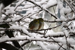 Wax eye in snow (Jonathan Mackie) Tags: snow cold bird freezing silvereye waxeye laterals zosterops