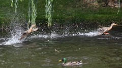 WILDLIFE IMAGES JUNE 2012 (thomassylthe) Tags: heron illinois nikon deer whitetail mallards egrets 300mmf4 d7000 wayerscape