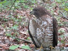 Broad-winged Hawk, Floyd, Virginia