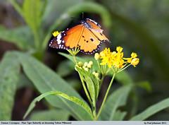 Danaus Cryssippus - Plain Tiger landing on Yellow Milkweed (vtnida) Tags: plant flower nature butterfly flying nikon tiger insects lepidoptera monarch milkweed plain d4 brushfooted nymphalidae danaidae