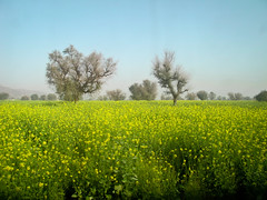 Mustard (Matthew C. Carlsen) Tags: india bus window yellow canon fields mustard twotrees g11 passingmeby winter2010