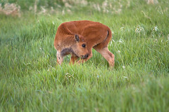 "Bison calf grooming itself (IronRodArt - Royce Bair (""Star Shooter"")) Tags: baby cute animal mammal buffalo grooming american calf bison licking grandtetonnationalpark babyanimal americanbuffalo americanbision"