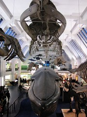 The Whale Room (tom_2014) Tags: england building london ecology museum canon giant skeleton mammal hall model marine room naturalhistory collection whale whales kensington mammals naturalhistorymuseum marinemammal nhm biodiversity bluewhale whaleroom
