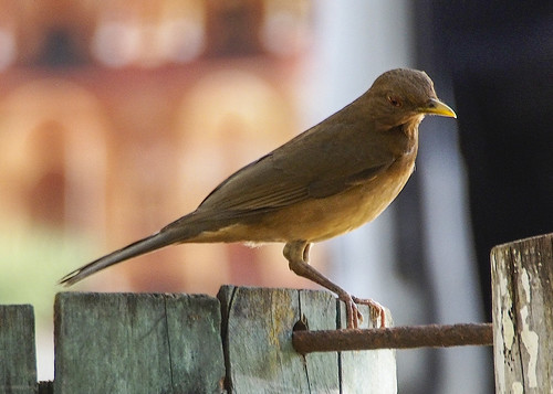 Clay-colored Thrush B271192focPr