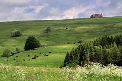 Auvergne (rogermarcel) Tags: landscape cows paysage auvergne vaches