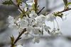 Wild Cherry (Prunus avium) (greggys stuff) Tags: april gower prunusavium oxwich rosaceae wildcherry